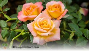 نکاتی در مورد خرید گل رز چهار فصل