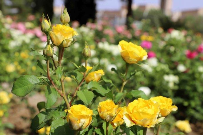 در مورد خرید گل رز چهار فصل2 - نکاتی در مورد خرید گل رز چهار فصل