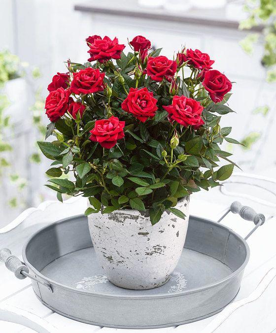 در مورد خرید گل رز چهار فصل3 - نکاتی در مورد خرید گل رز چهار فصل