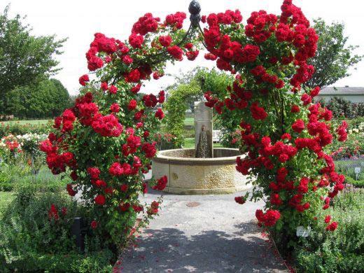 در مورد خرید گل رز چهار فصل4 - نکاتی در مورد خرید گل رز چهار فصل